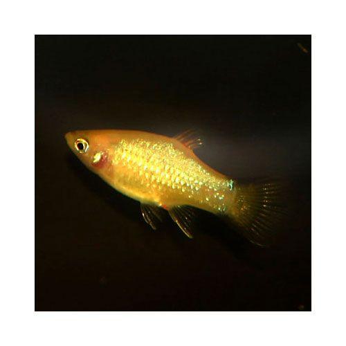 Gold Twinbar Platy Xiphophorus maculatus For the