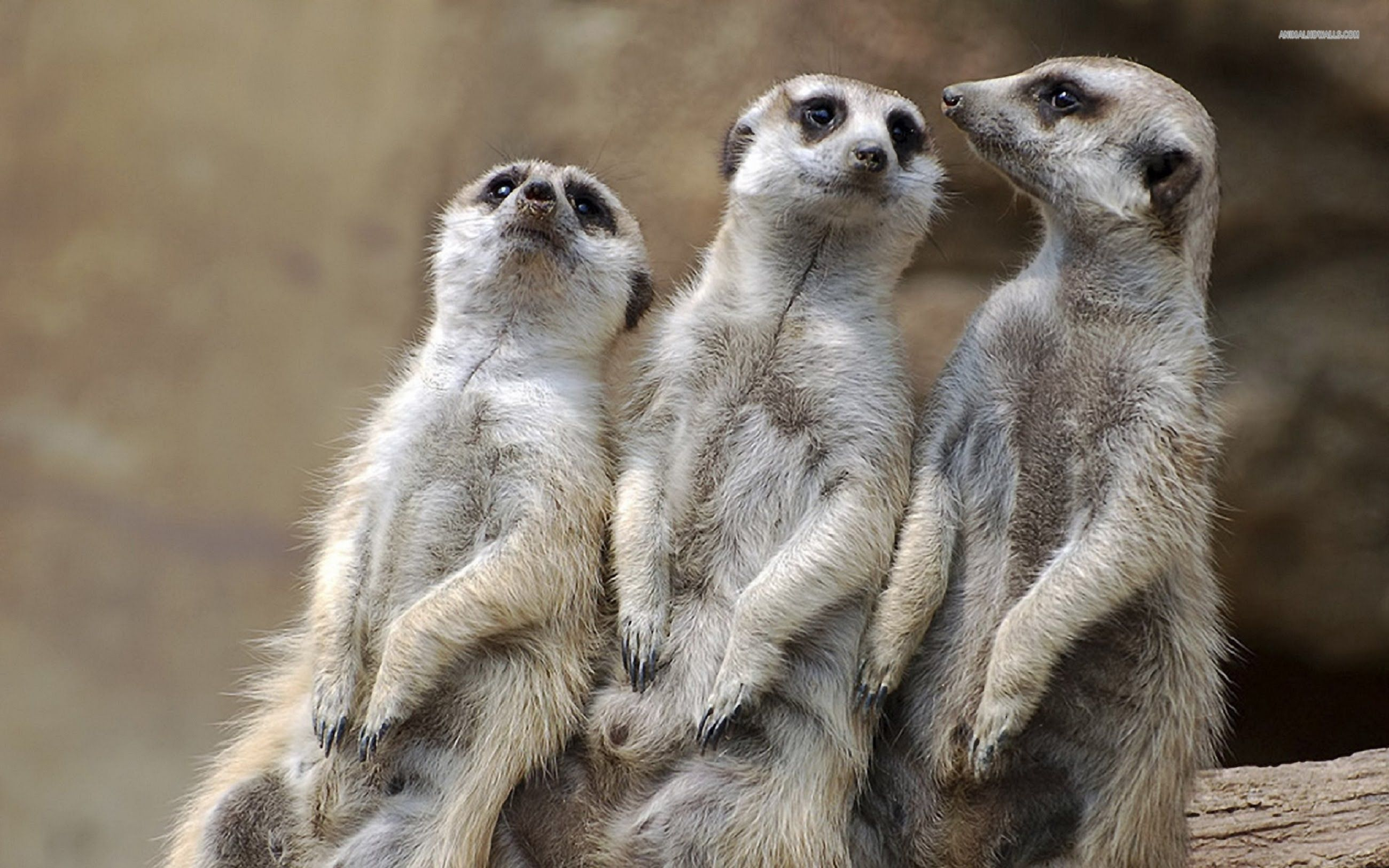Meerkat Manor S01 E06 Boys Will Be Boys Meerkat, Funny