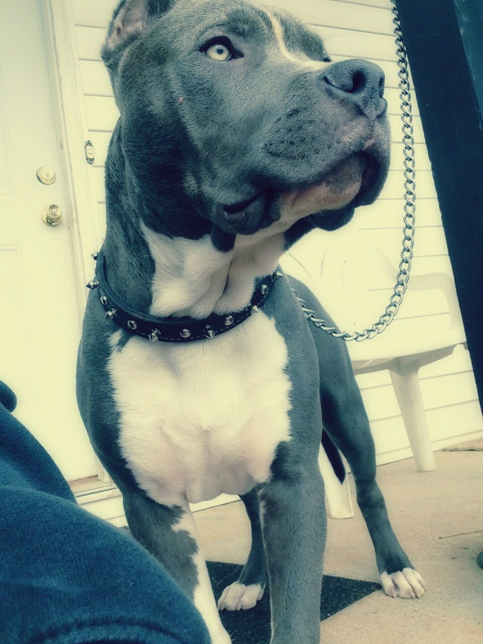 Blue Nose Pitbull Chico Pitbulls Pitbull Dog American Pitbull