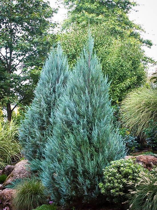 Moonglow Juniper Juniperus Scopulorum 39 Moonglow 39 Grows