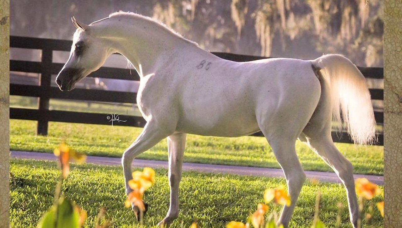 El Nabila B Om El Arab International Horses Arabian Horse Egyptian Arabian Horses