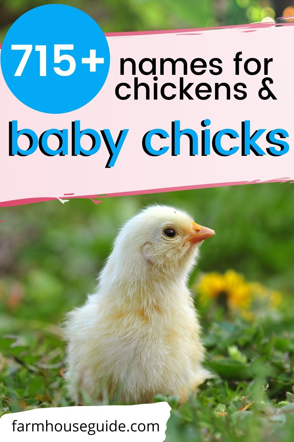 715+ Names for Chickens and Baby Chicks in 2020 | Cute ...
