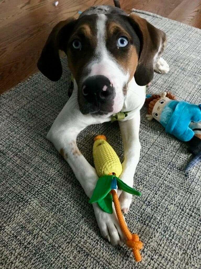 Adopt Sheldon on Catahoula leopard dog, Dog adoption