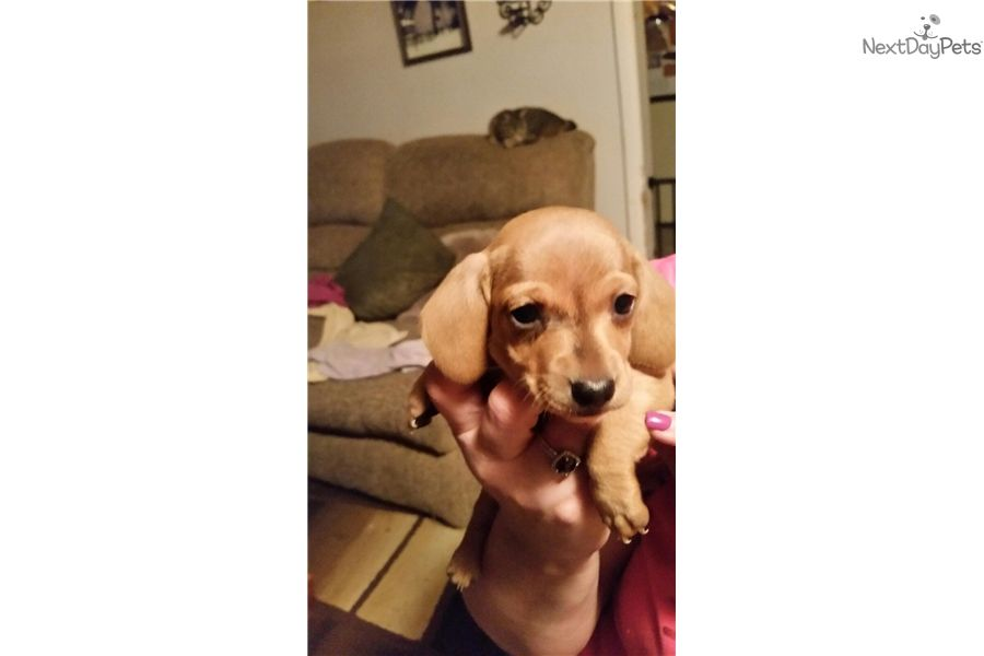 Dachshund Mini Puppy For Sale Near Eugene Oregon 7d612031 Fcf1