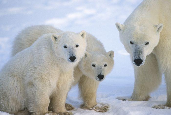 Where Do Polar Bears Live? | Polar Bears International | animal ...