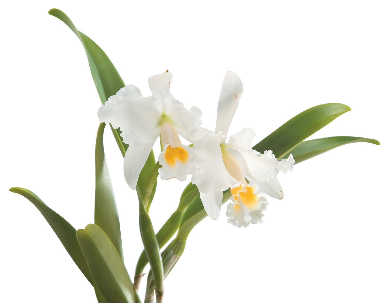 Cattleya cattleya orchid pinterest orchid