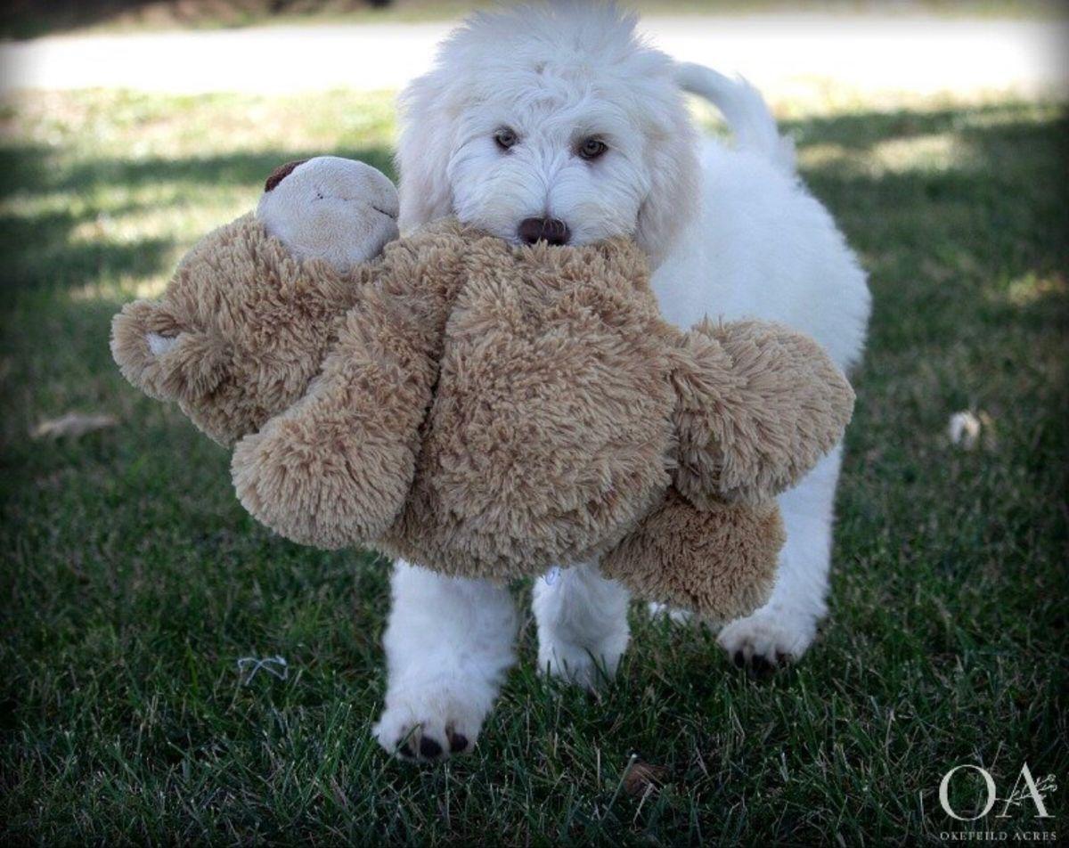 Okefeild Acres Teddybear Standard Goldendoodle Puppies in