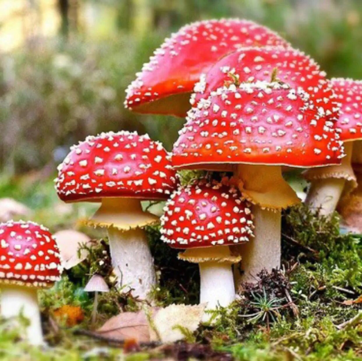 Mushrooms Muchomor Stuffed Mushrooms Magical Mushrooms Plant Fungus