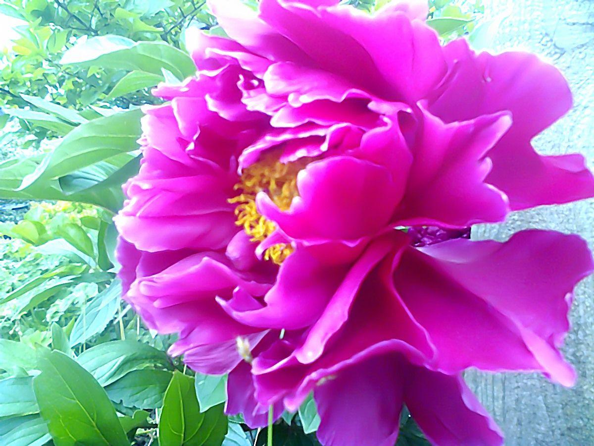 Myphotography of peony flower in my garden vesnaa silky smooth myphotography of peony flower in my garden vesnaa silky smooth tender izmirmasajfo