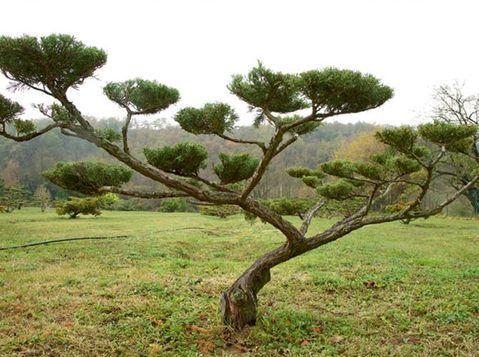 comment tailler ses arbres en nuage bonsai bonsai. Black Bedroom Furniture Sets. Home Design Ideas
