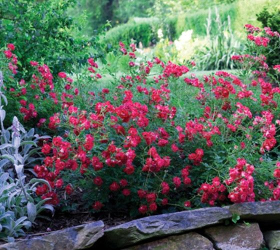 Roses In Garden: Red Drift® Groundcover Rose