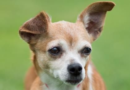 Petango Com Meet Amber A 9 Years 3 Months Chihuahua Short Coat Available For Adoption In Colorado Springs Co Chihuahua Pets Homeless Pets