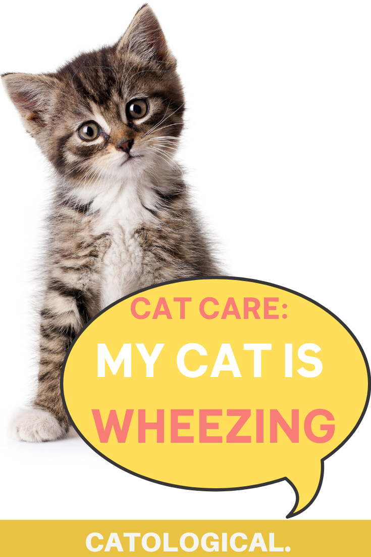 Cat wheezing Learn what to do and why it happens with