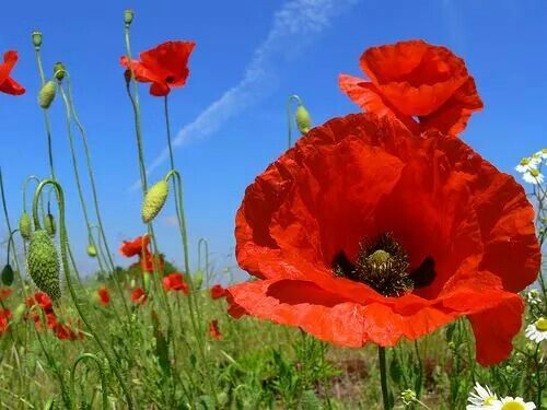 Pin by viviana escobar on nature pinterest explore poppy flowers red poppies and more mightylinksfo Gallery
