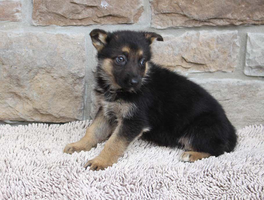 Meet Cindy AKC German Shepherd puppy in New Haven