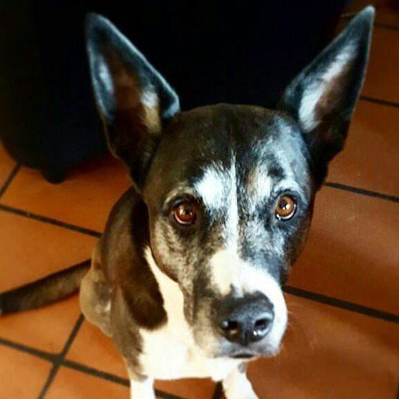 Sono batcan! Foto di: @auatato  #BauSocial   #missyou #mychicchi #Slevin #SlevinTheDog #dogphotography #dogagram #dog #doggylove #chicchi #cane #love #instadog #amazing #beautiful #batdog #batman