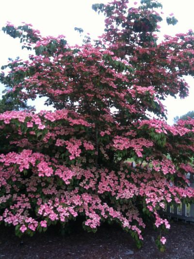 Satomi Dogwood In Washington State Dogwood Trees Spring Blooming Trees Ornamental Trees