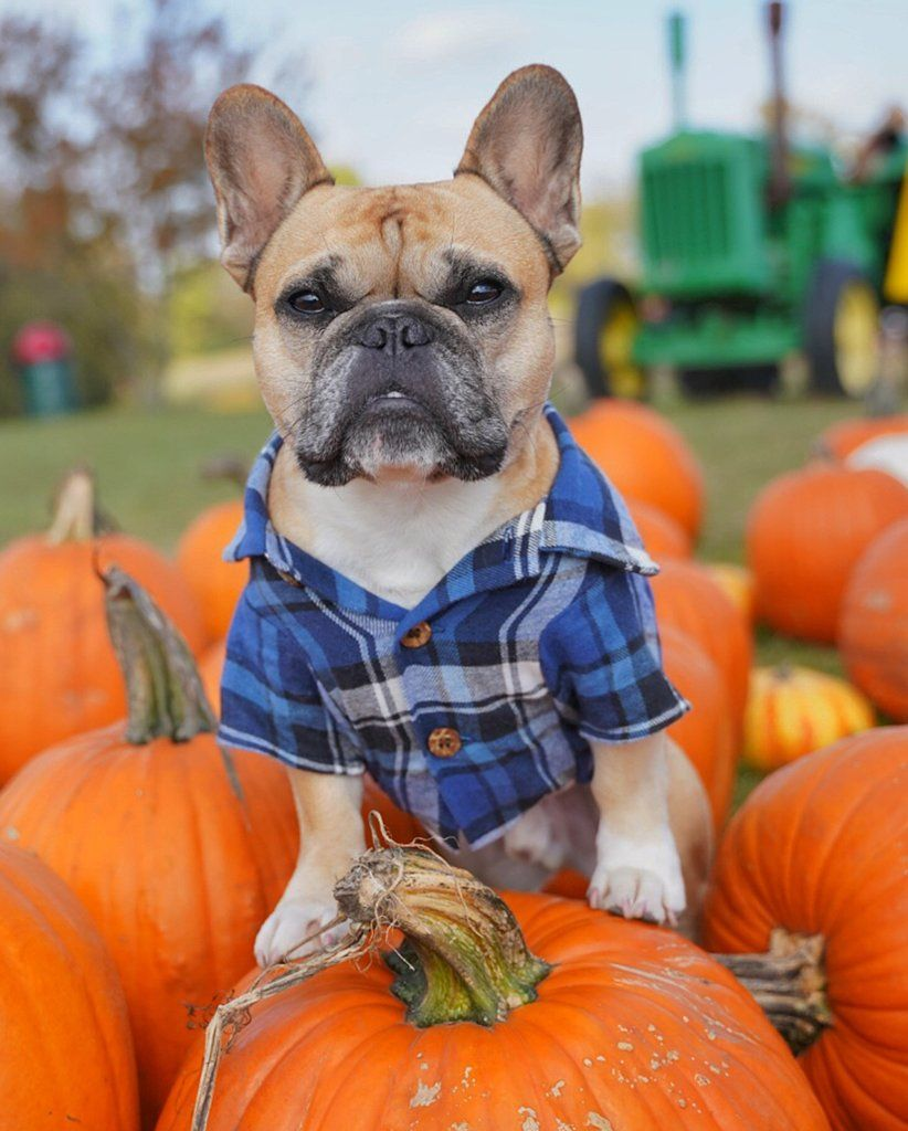 Flannel shirts for dogs  Frontiersman Flannel  Ternura  Pinterest  Dogs Cute dogs and Shirts