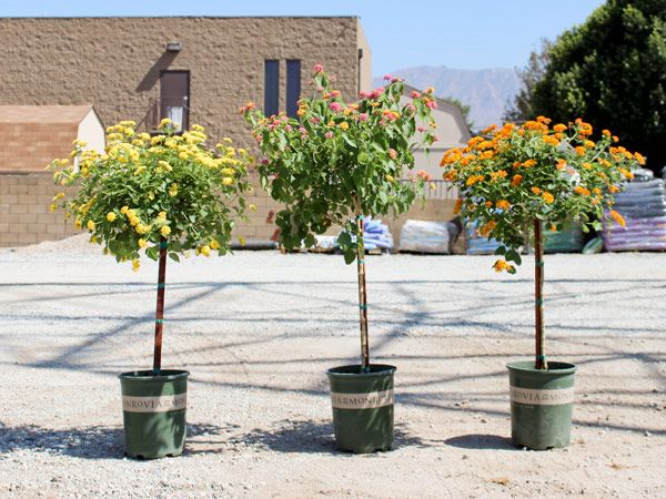 Water Wise Plants Of The Week: Little Ollie Shrub U0026 Lantana Patio Tree