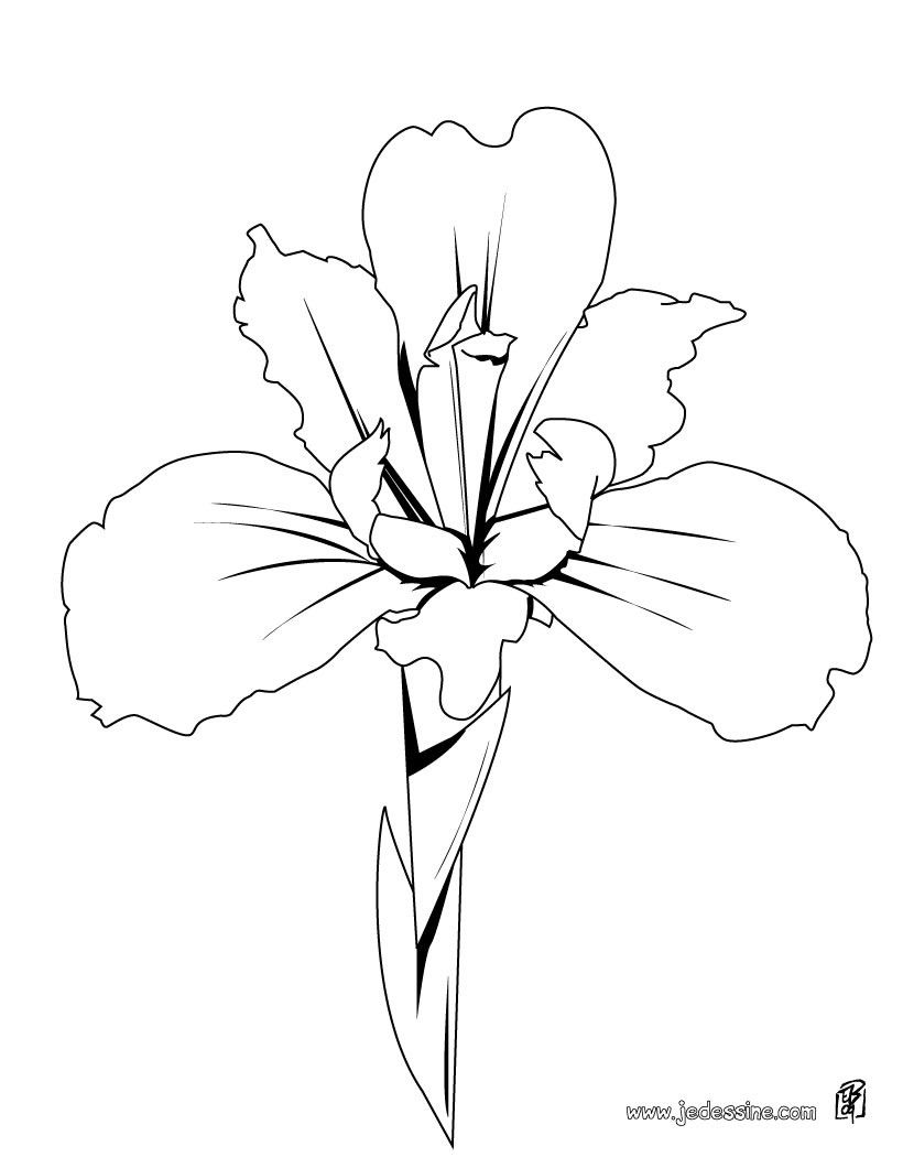 Fleurs d 39 hiris coloriage de fleurs coloriage d 39 un iris fleurs pinterest coloriages de - Comment dessiner une fleur facilement ...