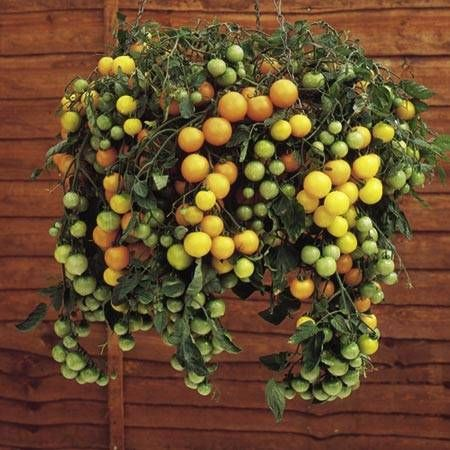 Captivating Tumbling Tom Yellow Patio Tomato Seeds 2   Garden Seeds   Vegetable Seeds