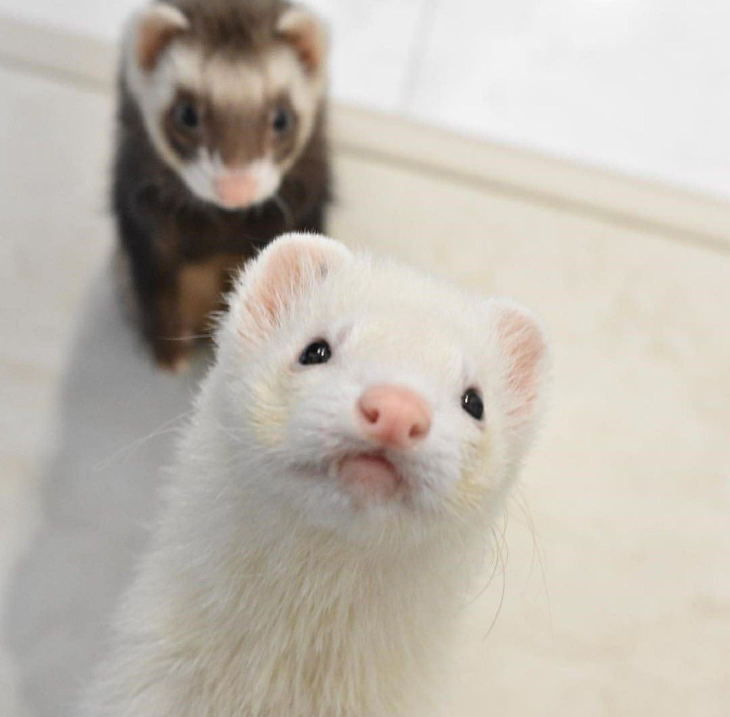 Pin By Paige Gillespie On Fritter Love Cute Ferrets Pet Ferret Pet Rodents