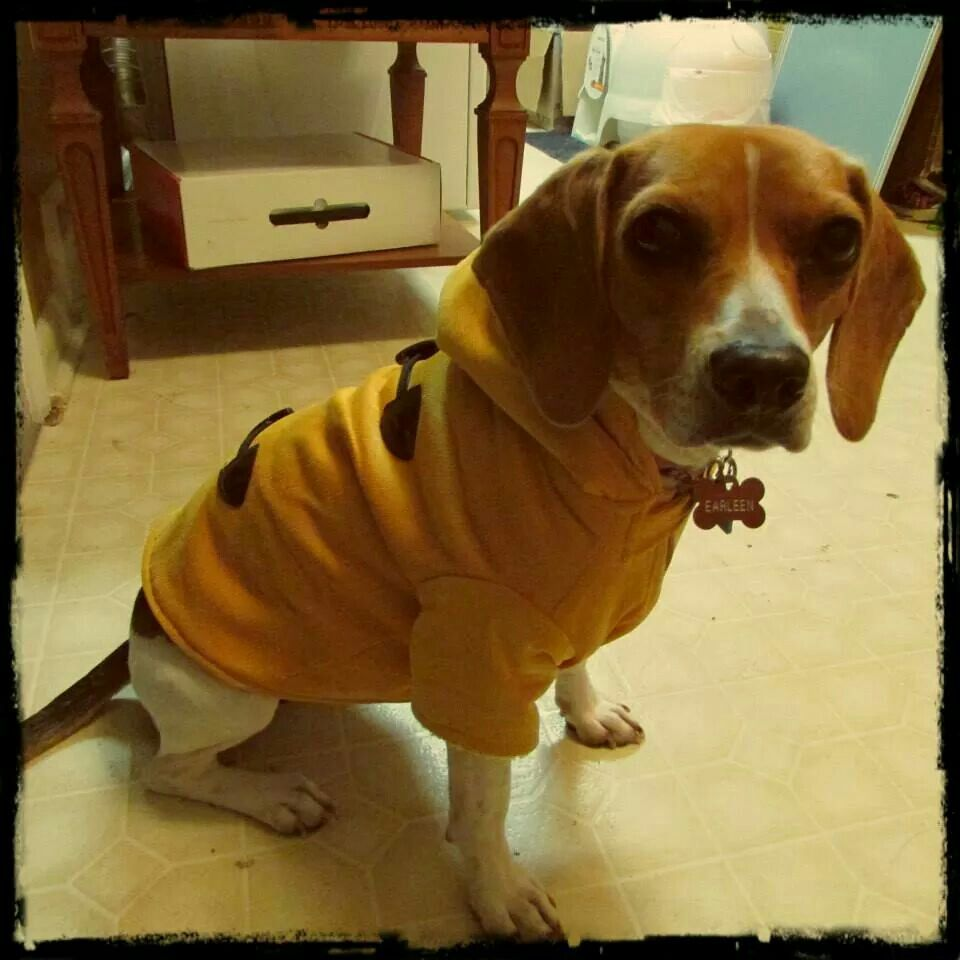 Beagle with a yellow coat. © Jing Geng