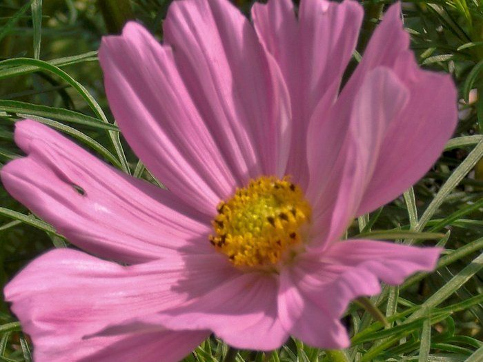 Cosmos Close Up By Mary Hoel On Blomster