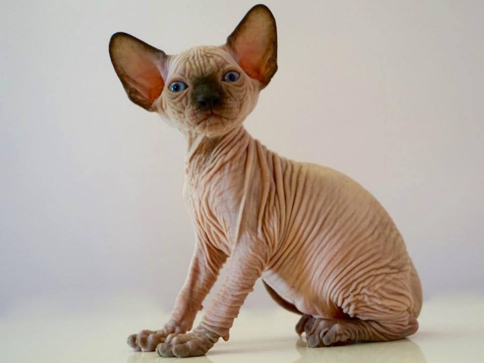 Sphynx Kittens For Sale 0 Near Me