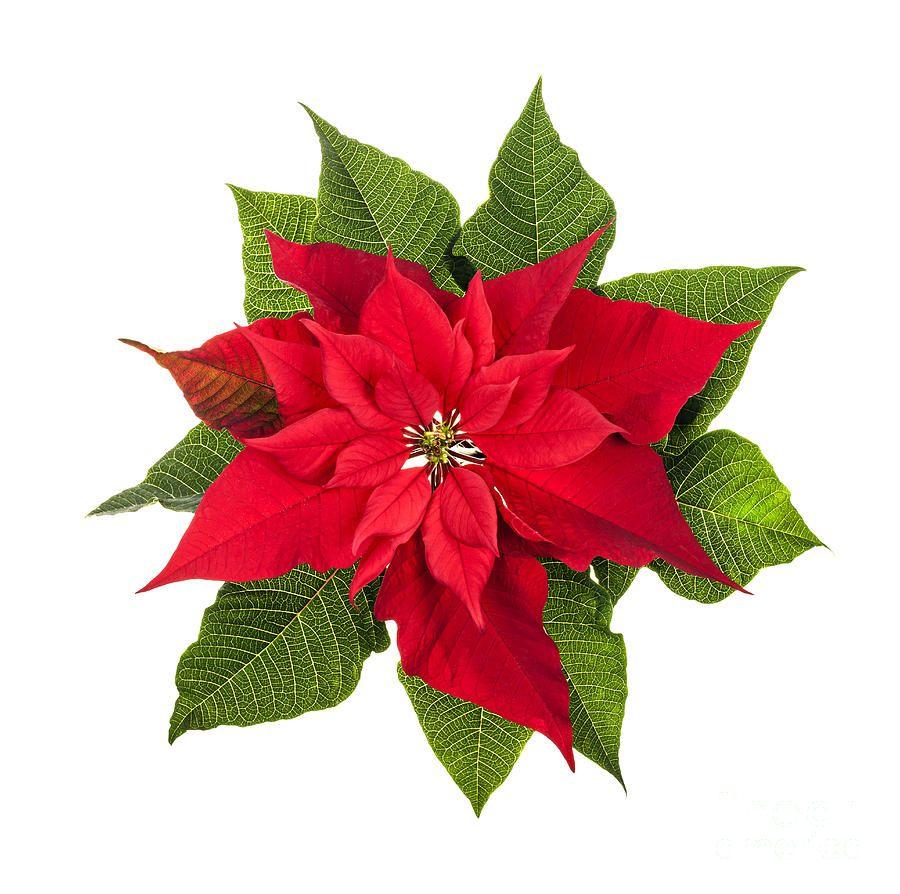 Christmas Poinsettia (With images) Poinsettia plant