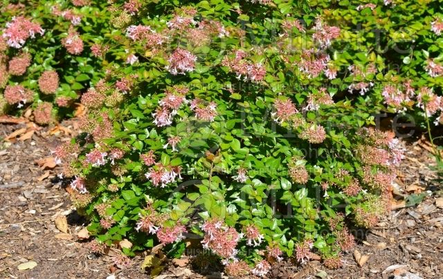 Abelia Canyon Creek Google Search Evergreen Shrubs Canyon