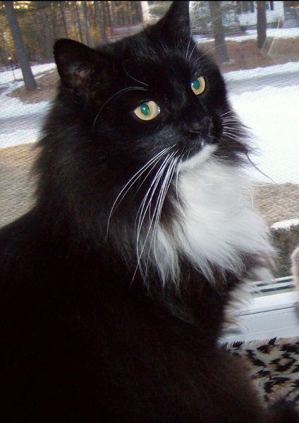 Pin On Tuxedo Cats Black White Cats