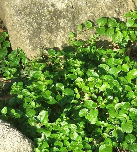 Plants For Dry Shade Yerba Buena Satureja Douglasii Is A