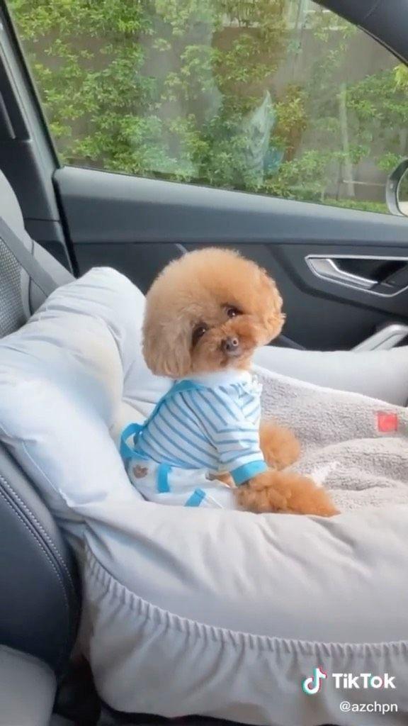toypoodlegram on Instagram: Wait for it 😂😅 Follow @toypoodlegram #toypoodle #poodle #dog #dogsofinstagram #dogstagram #poodlesofinstagram #puppy #poodlelove #dogs…
