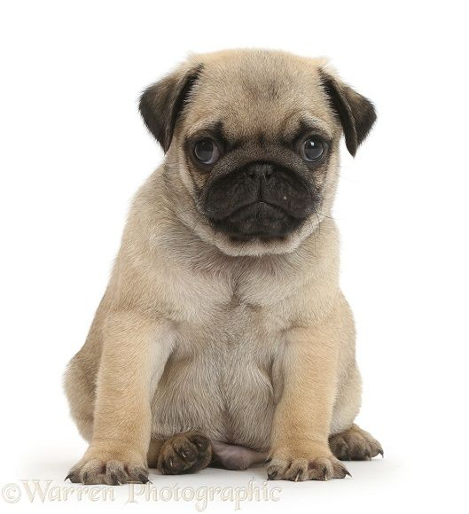 Pug Puppy Sitting Puppies Baby Pugs
