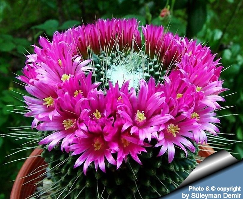 Mammillaria spinosissima cv UN PICO Plantas para jardin - plantas para jardin