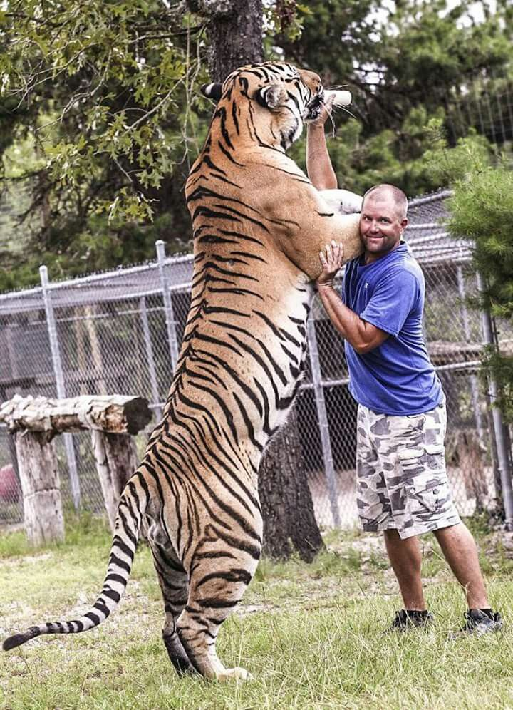 Particularly large tiger in captivity. Despite the fact