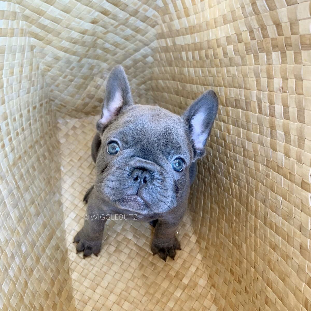 Bubbles In 2020 French Bulldog Brindle
