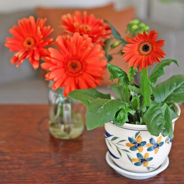 How To Care For A Gerbera Daisy Plant Hunker Gerbera Plant Gerbera Daisy Gerbera Daisy Care