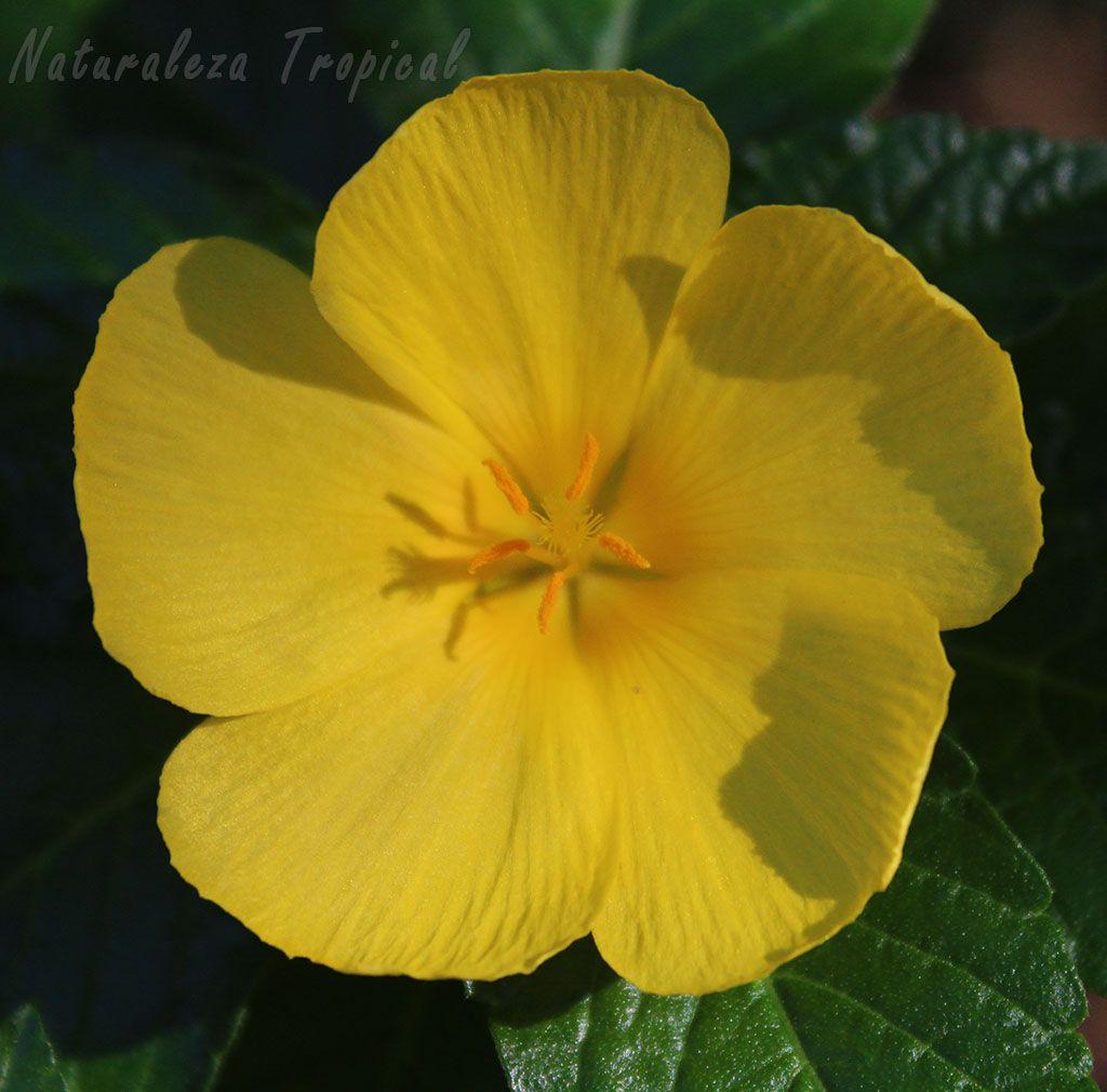Flor caracter stica de la planta marilope turnera for Tres plantas ornamentales