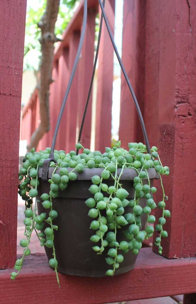 Hanging String of Pearls plant I want one!