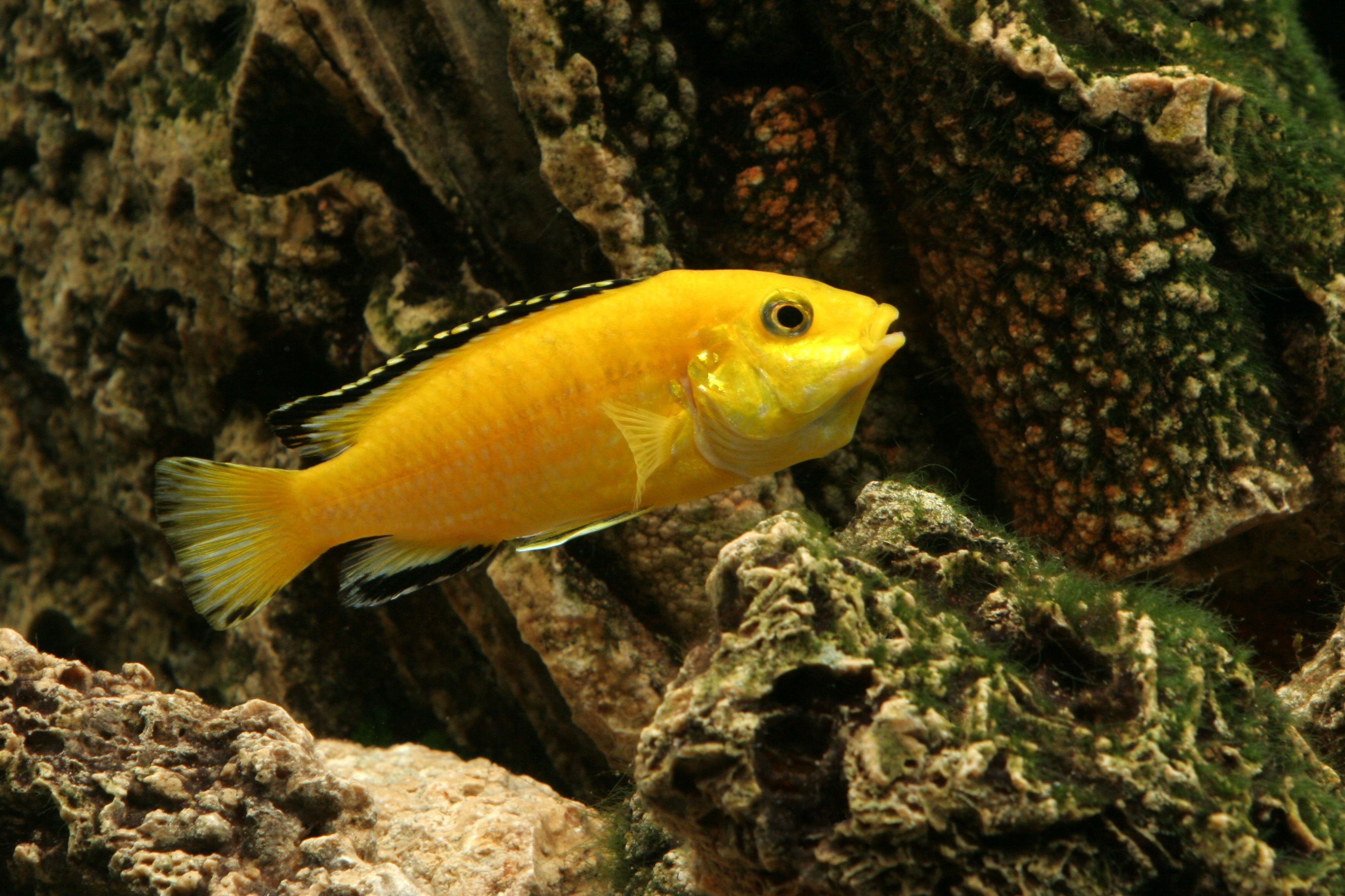 How To Tell The Difference Between Male African Cichlids Cichlids Malawi Cichlids