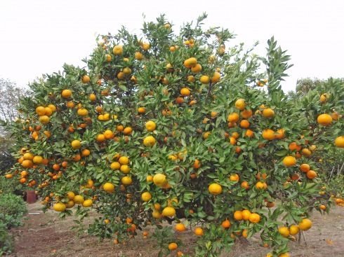 Why We Like Satsumas Citrus Trees Satsuma Tree Fruit Garden