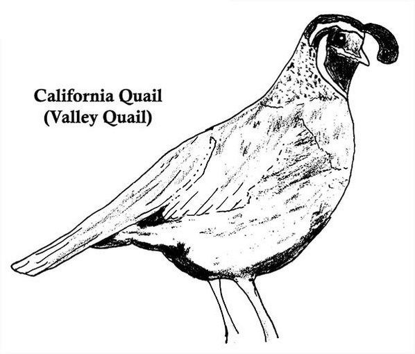 Real California Valley Quail Coloring Page