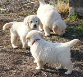 Platinum English Retrivers English Golden Retrievers Puppies