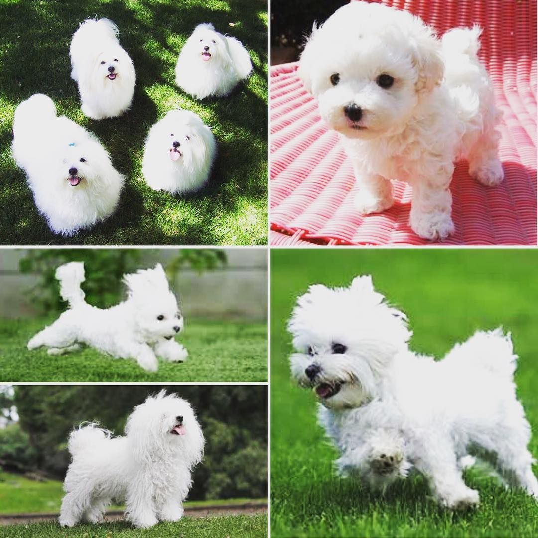 Not The Tasty Italian Sauce The Bolognese Like Their Cousin The Bichon Frise Is A Small White Dog With Curly Hair Unlike The Bic White Dogs Dog Breeds Pets