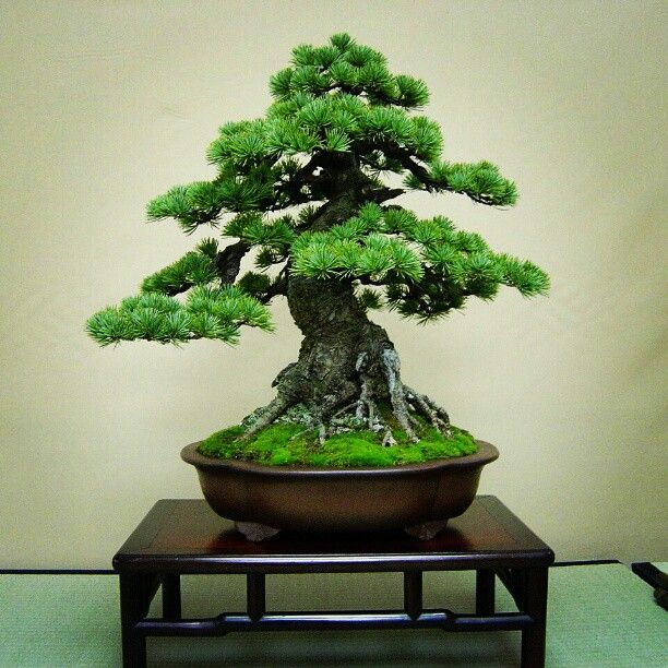 Bonsai Pine Bonsai Indoor Bonsai Tree Bonsai Tree