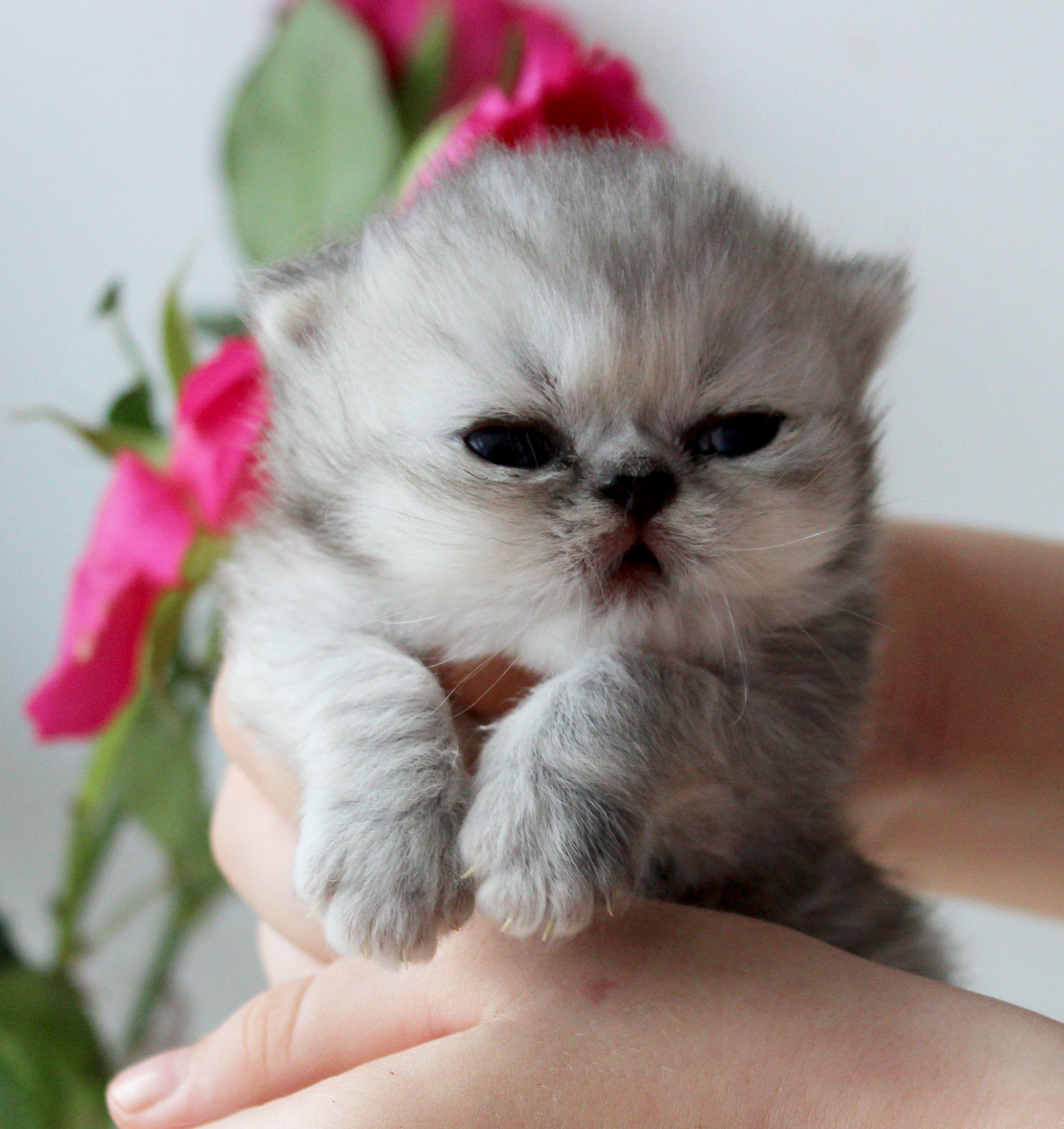 Silver persian kitten 2 weeks old