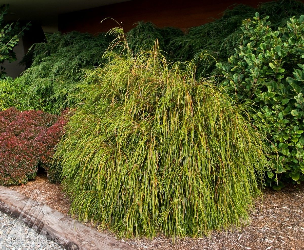 thuja plicata 39 whipcord 39 dwarf cord branched western red cedar creative ideas pinterest. Black Bedroom Furniture Sets. Home Design Ideas