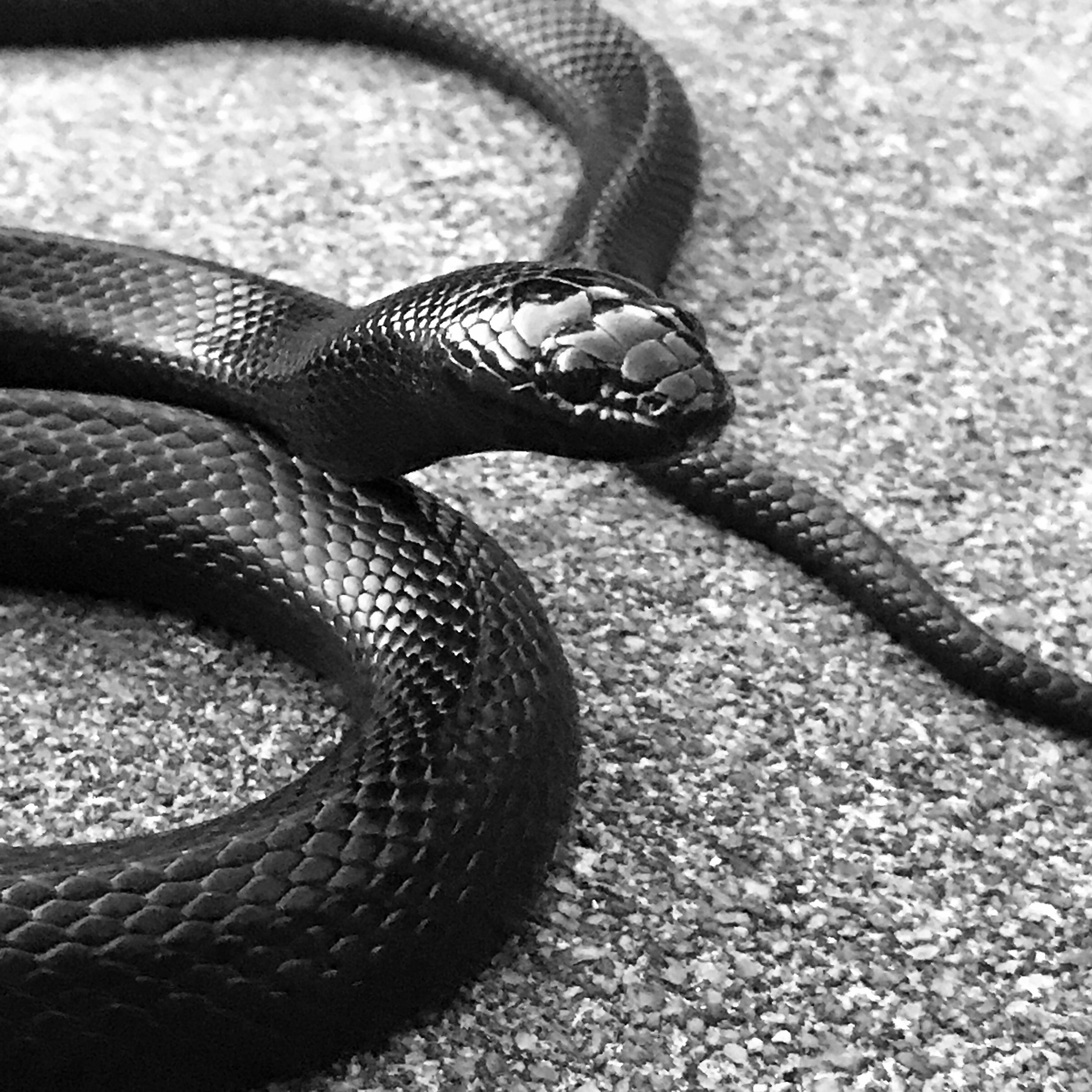 Mexican Black King Snake In Black-And-White  Cool Stuff -1673